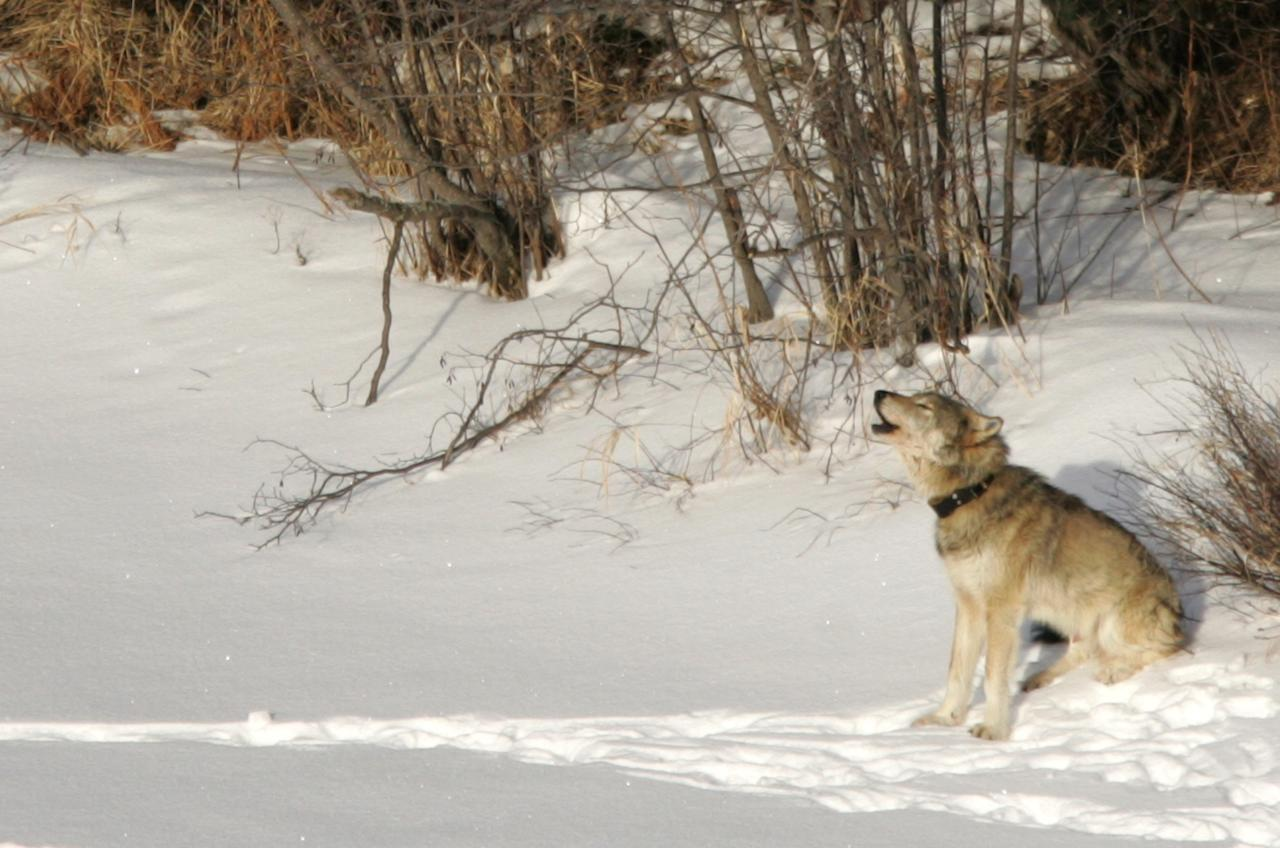 FILE - In this Feb. 10, 2006 file photo provided by Michigan Technological University, a gray wolf is shown on Isle Royale National Park in northern Michigan. An advance copy of a wolf-tracking report obtained by AP shows the number of gray wolves at Isle Royale National Park is down to 16, the lowest number since the late 1990s, and there may be only one or two females left.
