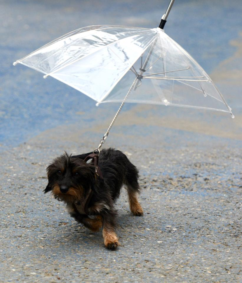 "Dog puppy ""Sandy"" protects against the rain with an umbrella fixed on her leash during a stroll in Rust, southern Germany, on May 26, 2013.       AFP PHOTO / PATRICK SEEGER"