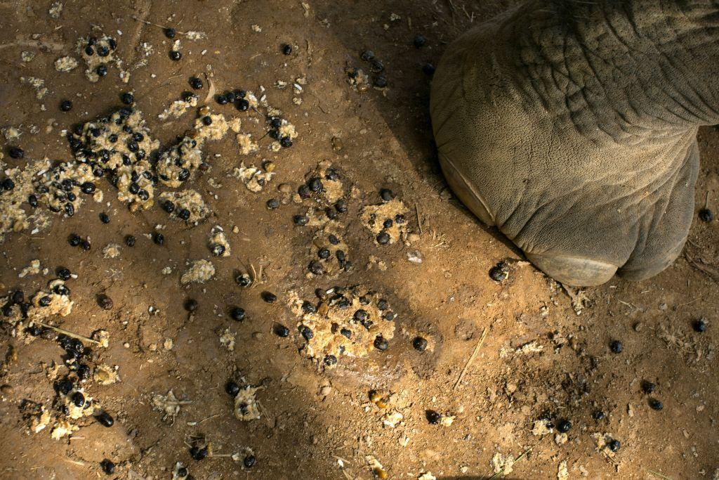 A coffee bean mixture on the ground after an elephant feeds at the Anantara Golden Triangle resort in Golden Triangle, northern Thailand.