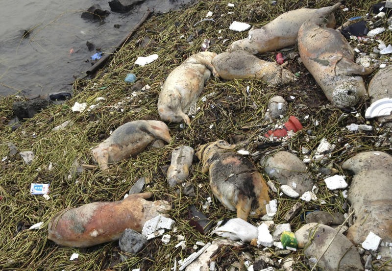 2,800 pigs dumped in Shanghai river raises concern
