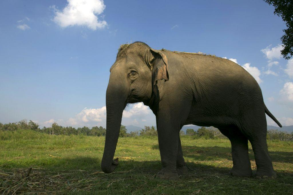 A Thai elephant walks in the jungle at an elephant camp at the Anantara Golden Triangle resort in Golden Triangle, northern Thailand.