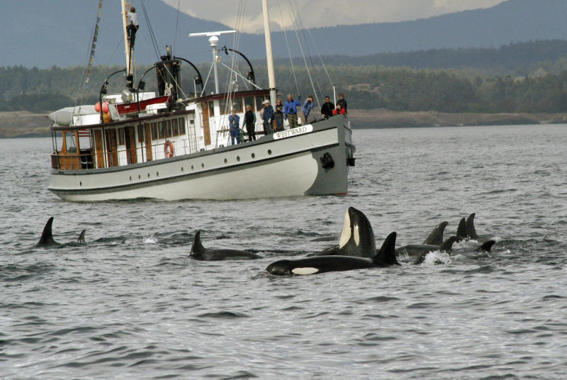 NOAA: Puget Sound killer whales to stay protected