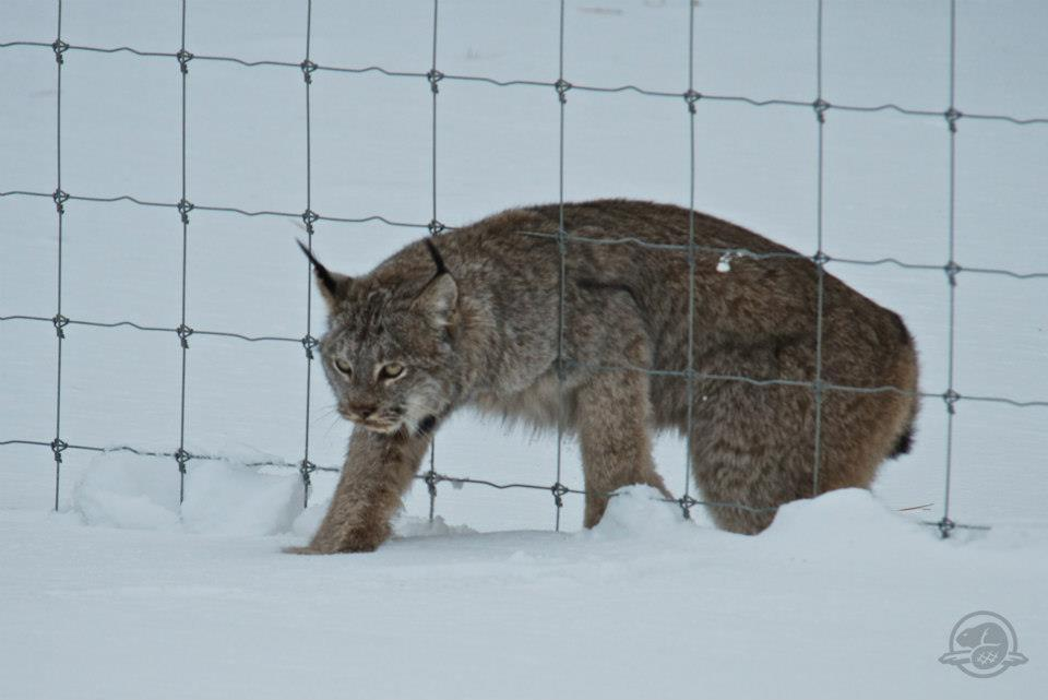 Parks Canada employee Alex Taylor snapped this photo when visitors to Banff National Park that a mother lynx and her kitten were attempting to cross the Trans-Canada Highway.