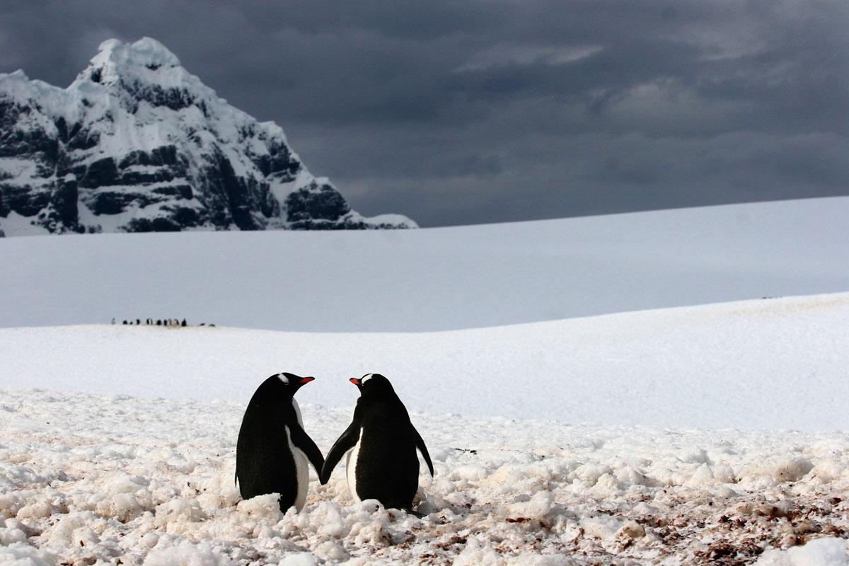 ** MANDATORY BYLINE ** PIC BY SILVIU GHETIE / CATERS NEWS  - (Pictured two penguins holding flippers) - From a loving look to an affectionate nuzzle, these are the charming images of cute creatures cosying up for Valentines Day. And as the heart-warming pictures show the animal kingdom can be just as romantic as us humans when it comes to celebrating the big day. SEE CATERS COPY.