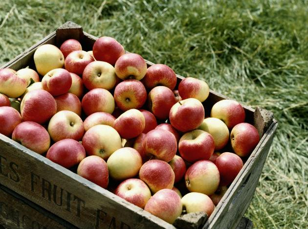 <b>Apples</b><br>Apples are great all year round, known for its properties that boost cardiovascular health and prevent dementia. Winter is the season for apples, and eating seasonal fruits is both healthy and affordable. So stock up on juicy apples and enjoy the winter chill.