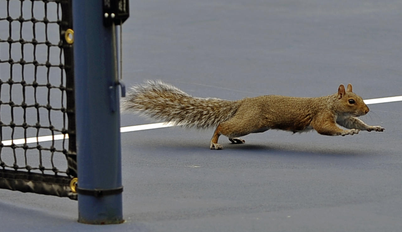 A squirrel crosses the court during the first round of play at the 2013 U.S. Open tennis tournament, Monday, Aug. 26, 2013, in New York. (AP Photo/Kathy Kmonicek)