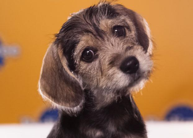 """Trinka, a 10-week-old schnauzer/beagle, """"loves sleeping in hotel room beds."""" (Photo by Keith Barraclough/DCL)"""