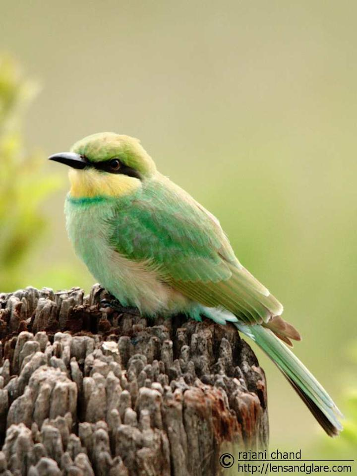 <b>Green Bee Eater </b><br><br>The first day, deep within the forest. No sighting of wild animals for a long time. We waited for about 45 minutes to an hour at spots where there was a high probability of seeing big cats but no luck. It was then this beautiful bird came near our jeep and sat on a log. It is a common resident in the outskirts of Bangalore city. But I felt it was posing for me and didn't want to disappoint.