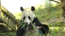 Giant Pandas Fall In Love