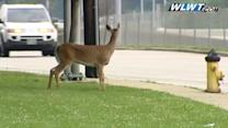 Watch: A deer attempts to cross Reading Road