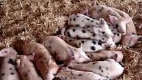 Cute Pig Ears React to Sound