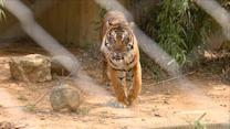 Meet Sparky the Tiger at the National Zoo
