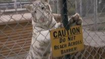 Animal Sanctuary Worker Mauled by Tiger