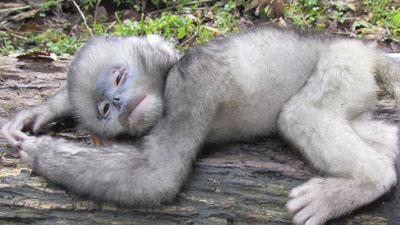 Myanmar Monkey Species on Brink of Extinction