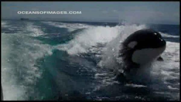 Killer whales chase down tourist boat