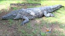 """""""Poncho"""" The Croc Caught In Gables Canal Dies After Being Trapped"""
