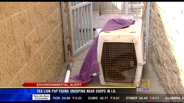 Sea lion pup found snooping near shops in Imperial Beach