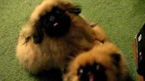 Adorable Pekingese Puppies Vie for Attention