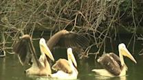Pelicans Move Into Park