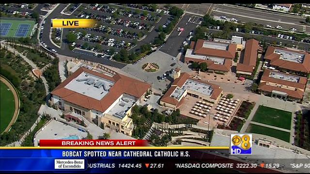 Bobcat spotted near Cathedral Catholic High School