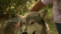 Visitors Feel Part of the Pack at Wolf Preserve