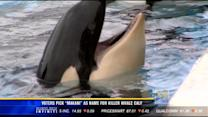 SeaWorld's killer whale calf has a new name