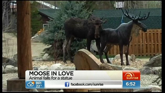 Moose in love with statue