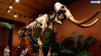 Texas Family To Part Ways With Skeleton Of Mammoth Found On Its Farm
