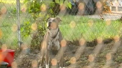 Dog Owner Wants Ban On Pit Bulls After Attack