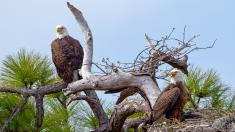 Watch an Eagle Family
