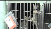 No Shelter For Major City`s Healthy Kittens