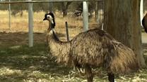 Giant Bird Tries to Join Australian Police