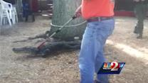 Raw video: 8-foot gator captured at Leesburg restaurant