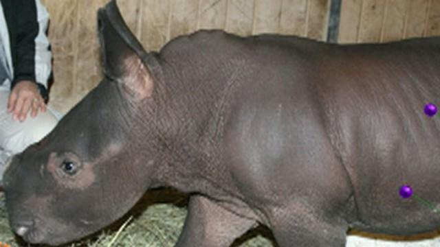 Cute Animal Video: Albuquerque BioPark Zoo Welcomes Baby Rhino