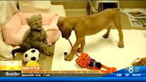 Cheetah pairs with pup, cuteness off the charts