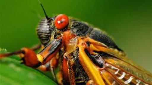 Cicadas Emerge in the South