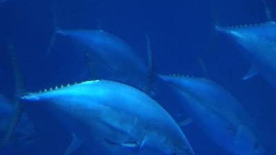 Radioactive bluefin tuna crossed the Pacific