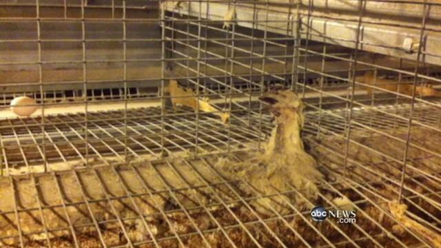 Major Egg Producer Accused of Cruelty, Filth