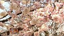 Spring Is Coming! NPS Predicts Cherry Blossom Peak