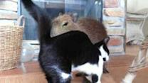 Cute Capybara Plays With Kitten