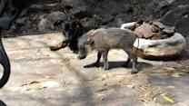 Baby Warthog Visits Family Dog