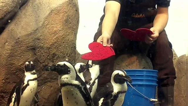 New KeyworPenguins in SF get early Valentine's Day treatd