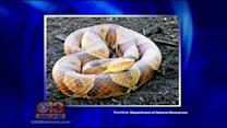 Boy Scout Bitten By Copperhead Snake At Harford County Campsite