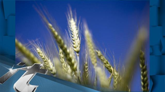 Environment Breaking News: Analysis: Biotech Wheat Furor Shows GM Food Safety Debate Far From Settled