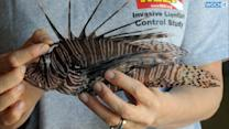 Florida Lionfish Ban, Nation's First, Goes Into Effect