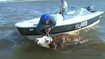 Farmers in flooded Iguazu Falls region rush to save livestock