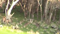 Boxing kangaroos settle a dispute