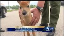 Picking Up Fawns Across the Region
