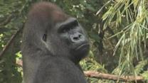 Gorillas On The Move Hope To Make Love Connections