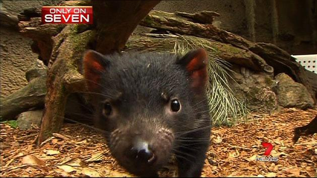 Devils on show at Dreamworld